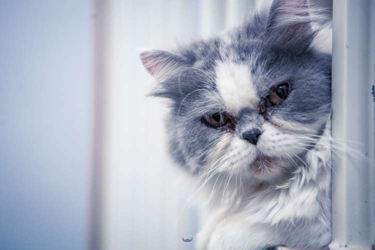 Kucing Tiga